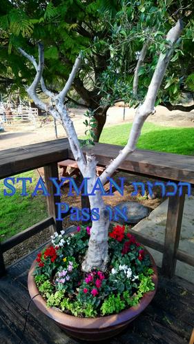 הכרזת Stayman או Pass אחרי פתיחת השותף של 1NT
